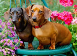 Just Dachsunds Puzzle