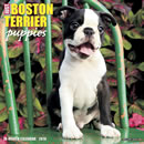 Just Boston Terrier Puppies 2016 Calendar